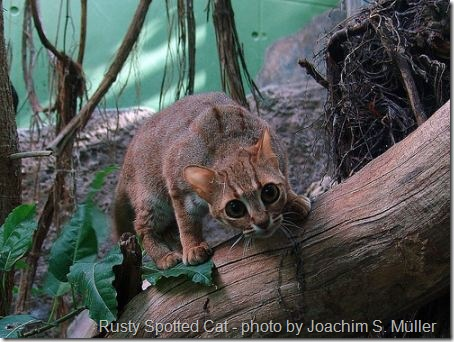 Rusty Spotted Cat Poc
